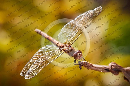 compound eye flying insect dragonfly, dragonfly, flying insect, compound eye