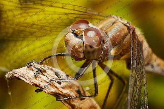 antennae, compound eye, dragonfly, flying insect, antenna