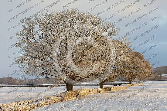 three trees winter field cold snow christmas seasonal countryside snowy weather remote trees cold winter golden chilly brisk farm field weather england english season bleak december outdoors natural background beautiful whiteuk