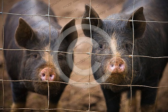 animal, bred, breed, butcher, coarse hair, cute, dirty, farm, farming, fat, fence, free range, funny, inquisitive, line, livestock, meat, muddy, organic farming, piggy, pigs, pink nose, pork, rough fur, smell, smelling, snouts, some, somerset, agriculture