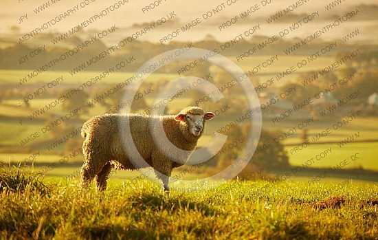 Pilsdon Pen sheep at sunrise