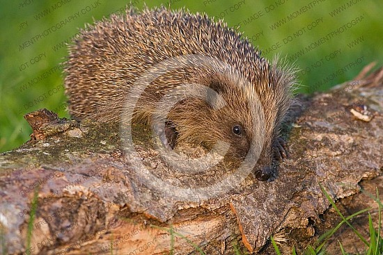autumn, ball, bark, beady eye, bonfire, bristle, brown, creature, curious, cute, defense, eats slugs, english mammal, fleas, foraging, garden, hedge, hedgehog, hibernation, hog, log, mammal, needle, nighttime, nocturnal, pointy, prickles, prickly, animal