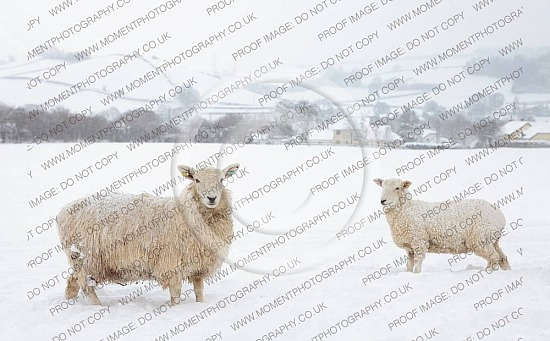 Sheep in snow near Dulverton on Exmoor
