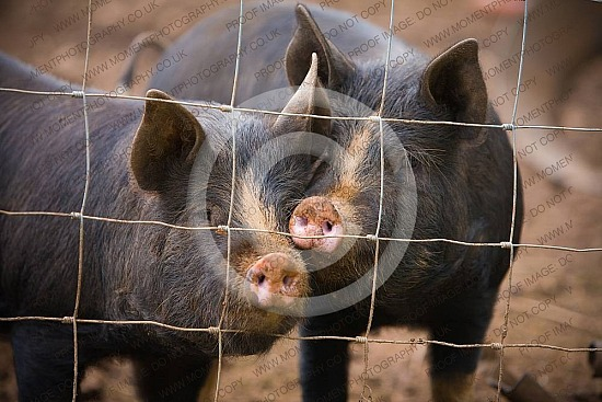 animal, bred, breed, bristle, british, butcher, coarse hair, cute, dirty, domestic, farm, farming, fat, fence, food, free range, funny, ham, hog, hoofed animal, inquisitive, livestock, meat, muddy, nose, organic farming, piggy, pigs, pink nos, agriculture