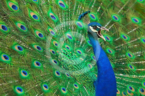 attractive, beak, beautiful, beauty, bird, blue, blue peacock, bright, close-up, closeup, color, colorful, dancing, detail, display, elegance, elegant, exhibition, exotic, eye, feather, feathers, fowl, green, head, horizontal, iridescent, majestic, animal