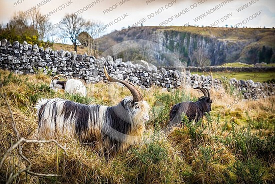 animal, beard, billy, billygoat, black, brown, capricorn, cattle, cheddar gorge, cheese, cute, dairy, farm, fauna, fur, goat, grass, graze, grazing, hair, hairy, head, herbivore, hooves, horn, horned, horns, livestock, m, male, mammal, meadow, agriculture