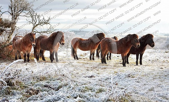 Ponies on Cothelstone Hill Somerset