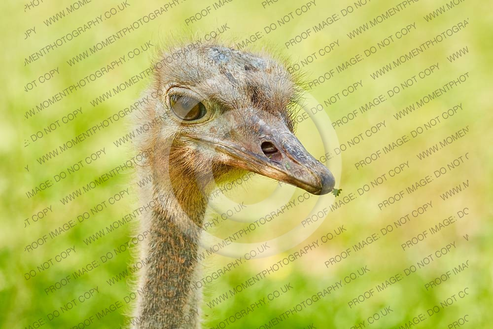 Red necked Ostrich