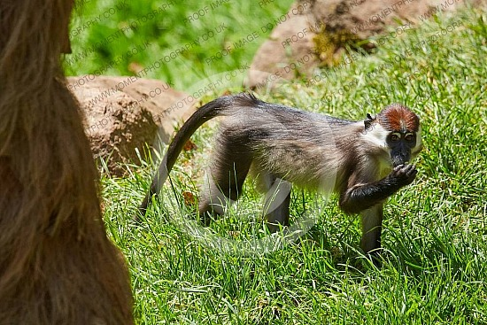 Cherry Crowned Mangabey