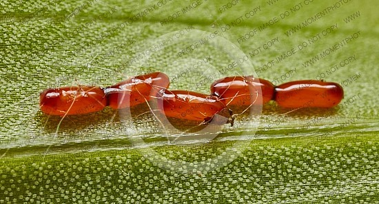 Lily beetle eggs