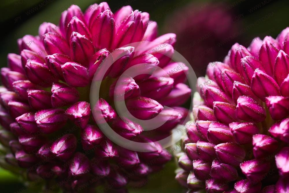 beautiful, botany, flower, horticulture, plant