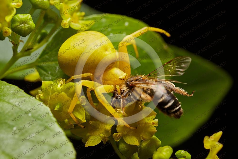ambush, beautiful, botany, camouflage, hunt, hunter, insect, predator, yellow, yellow crab spider