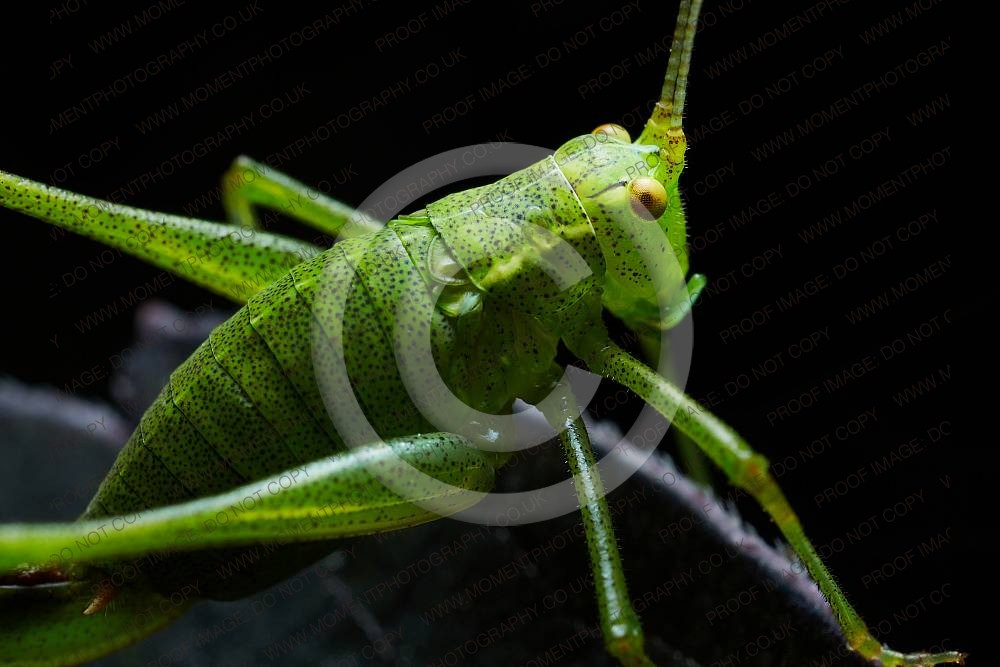 antenna, antennae, british, dahlia, englsh, green, insect, speckled bush cricket, walled gardens of cannington