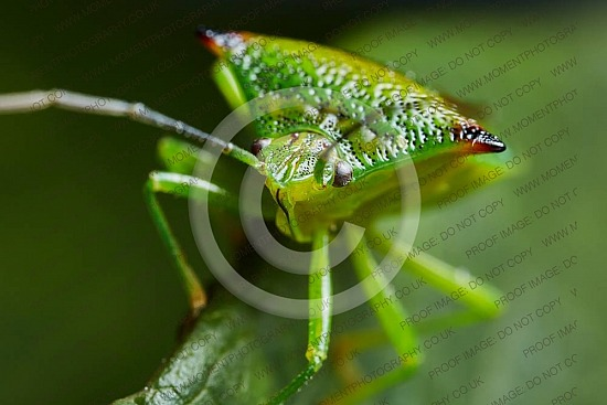 biology, bug, creepy, fauna, green, green shield bug, insect, invertebrate, macro, palomena, palomena prasina, pentatomidae, pest, prasina, shield, shield bug, stink bug, arthropod