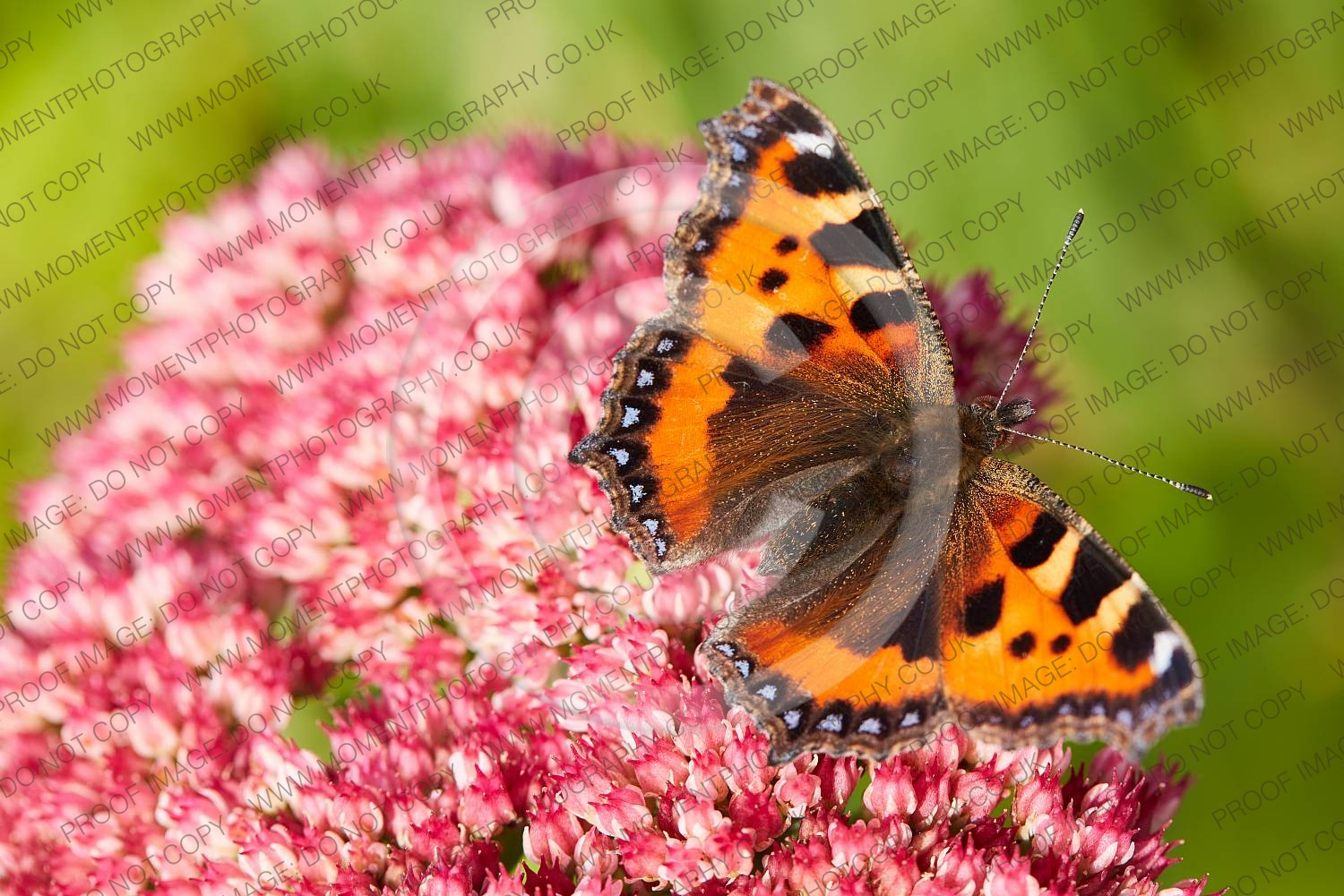2020, autumn, bloom, blooming, bridgwater photographer, butterfly, chard, closeup, date, daytime, england, environment, fauna, feeding, flora, flower, fragility, garden, horticulture, insect, insects, invertebrate, moment photography, nature, ornamental, outdoor, outside, pink, places, plant, sedum, sedum herbstfreude, september, somerset, somerset photographer, somerset photography, south west, south west england, summer, sunday, sunny, tortoiseshell, united kingdom, wildlife, wildlife conservation, wing