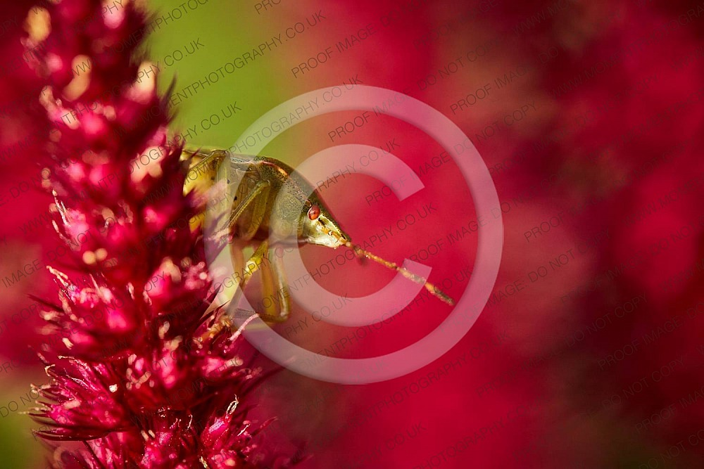 2020, autumn, bloom, bridgwater photographer, bug, chard, closeup, date, daytime, england, environment, fauna, flora, floral, flower, garden, green, green shield bug, insect, insects, macro, moment photography, natural, nature, outdoor, outside, pentatomidae, pest, places, red, september, shield, shield bug, somerset, somerset photographer, somerset photography, south west, south west england, stink, stink bug, summer, sunday, sunny, united kingdom, wildlife, wildlife conservation, zoology