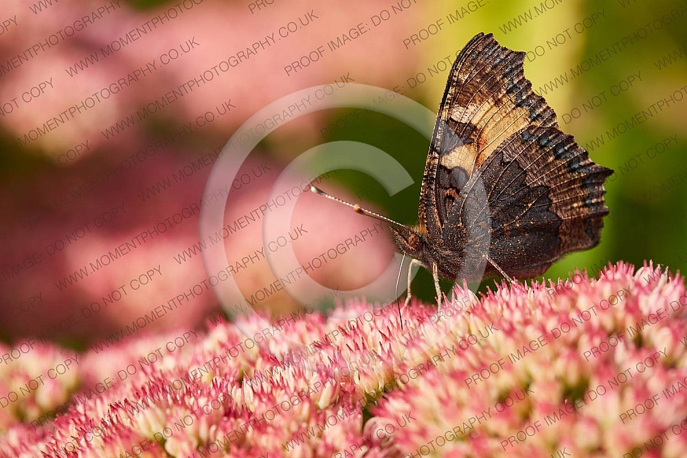 2020, autumn, bridgwater photographer, butterfly, chard, closeup, date, daytime, england, environment, fauna, feeding, flora, flower, fragility, insect, insects, invertebrate, moment photography, nature, outdoor, outside, pink, places, september, somerset, somerset photographer, somerset photography, south west, south west england, summer, sunday, sunny, tortoiseshell, united kingdom, wildlife, wildlife conservation, wing