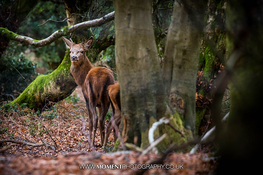 Wild deer in the woods of Holford, Somerset