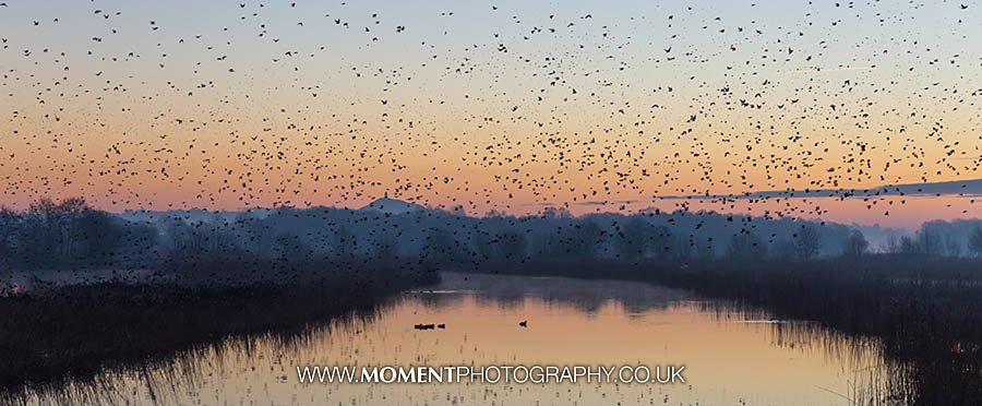 Starlings at sunrise at Ham Wall RSPB nature reserve