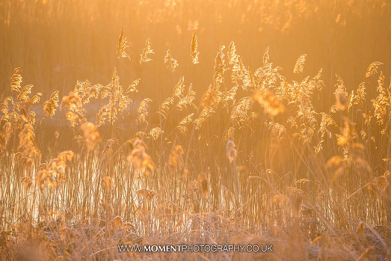 Reeds in sunlight at Ham Wall RSPB nature reserve